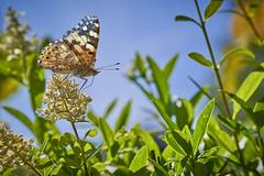 5 more Painted Ladies (1) (Ralf Muennich) Tags: distelfalter vanessacardui paintedlady schmetterlinge butterflies butterfly schmetterling hecke hedge
