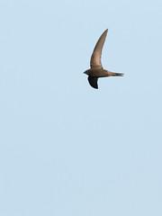 gierzwaluw (Apus apus) (Evert Vandeberg) Tags: swift gierzwaluw vogelsinantwerpen