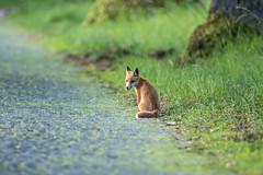 first trip (Fotos aus OWL) Tags: fuchs fuchswelpe rotfuch fox wildlife nature wild