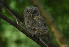 Eastern Screech Owlet (aj4095) Tags: eastern screech owl nature wildlife outdoor bird ontario nikon canada