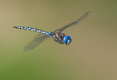 Blue-eyed Darner (Jerry Ting) Tags: coyotehillsregionalpark fremont california ebparksok blueeyeddarner