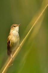 rousserolle (frederic.laroche6) Tags: rousserolle oiseau bird ornitho animalier greoux alpes haute provence nikon d500 nikkor 150 500 f56