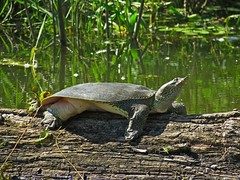 Eastern Spiny Softshelled Turtle (Photos by the Swamper) Tags: reptiles turtles softshelledturtle spinysoftshelledturtle
