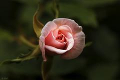 Bella.... (chelocatala) Tags: flor rosa naturaleza primavera