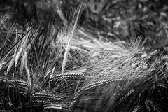 summer b&w (fhenkemeyer) Tags: bw corn ears summer nature grains