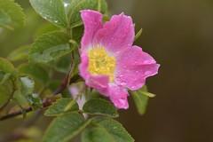 WildRosa (Tony Tooth) Tags: nikon d600 nikkor 105mm flower wildflower wildrose rosa pinkflower reapsmoor warslow staffs staffordshire