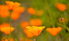 SUMMER COLOUR (chris .p) Tags: berrington garden herefordshire nikon d610 flower summer 2019 nt nationaltrust uk england colour flowers capture june closeup