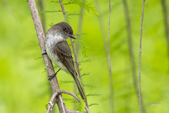 Eastern Phoebe (jt893x) Tags: 150600mm bird d500 easternphoebe flycatcher jt893x nikon nikond500 phoebe sayornisphoebe sigma sigma150600mmf563dgoshsms songbird thesunshinegroup coth coth5 e sunrays5 ngc