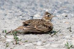 Skylark June 2019 (jgsnow) Tags: yellow bird lark skylark dustbathing
