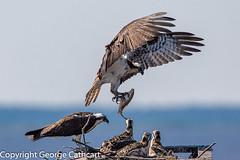 Dad's home! (fins'n'feathers) Tags: osprey nest fish food nesting babies nestlings wings raptor inflight landing maryland chesapeakebay blackwaternwr