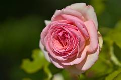 Pink Rose (pstenzel71) Tags: blumen natur pflanzen rosa rose darktable flower bokeh pink