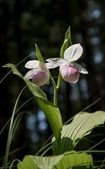 DSC_0510 (Copy) (pandjt) Tags: lanarkcounty lanark ontario purdonconservationarea lanarkhighlands mississippivalleyconservationarea travelogue showyladysslipperorchid sevenwondersoflanarkcounty orchid perennialorchid flower ladysslipperorchid