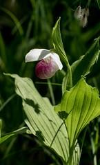 DSC_0309 (Copy) (pandjt) Tags: lanarkcounty lanark ontario purdonconservationarea lanarkhighlands mississippivalleyconservationarea travelogue showyladysslipperorchid sevenwondersoflanarkcounty orchid perennialorchid flower ladysslipperorchid