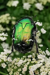 grön guldbagge (Håkan Jylhä (Thanks for +900.000 views)) Tags: bug green grön guldbagge skalbagge närbild macro closeup close nature sweden sverige håkan jylhä huawei p30pro