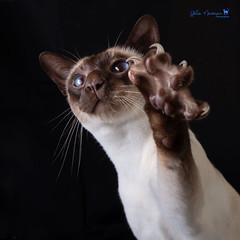 Claws! (VWGolf65) Tags: baz boy cat siamese claw