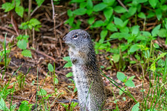 A Very Wet Franklin's Ground Squirrel (TheNovaScotian1991) Tags: franklinsgroundsquirrel alberta nikond7100 nikkor55300mm animal beautiful cute outdoor landscape standing wet woodsrose ground sirwinstonchurchillprovincialpark spring borealforest