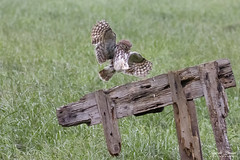 Steenuil - Little Owl (Thijs de Bruin) Tags: steenuil littleowl owl uil nature wildlife