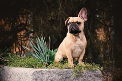 Maui French Bulldog (Dan Bardloom) Tags: dog puppy bulldog frenchbulldog cute portrait animal nature