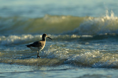 Surf Bird (Beve Brown-Clark) Tags: bevebrownclark bird wader waterfowl wildlife shorebird willet waves surf beach florida usa