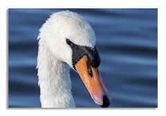 Nice sawn! (johnhjic) Tags: johnhjic swan water colour color wildlife