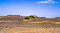 A tree in the desert (patuffel) Tags: desert tree single black stones yellow grass blue sky leica morocco marokko m10 50mm summicron drought drouth dry hot