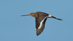 Black-tailed godwit (JS_71) Tags: nature wildlife nikon photography outdoor 500mm bird new spring see natur pose moment outside animal flickr colour poland sunshine beak feather nikkor d500 wildbirds planet global national wing eye watcher