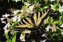 Western Tiger Swallowtail (bencbright) Tags: butterfly westerntigerswallowtail xt10 xf1855mmf284