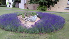 'Spud MacPat Face' boat with sea of Lavender Huntingdon 21st June 2019 002 (D@viD_2.011) Tags: spud macpat face boat with sea lavender huntingdon 21st june 2019