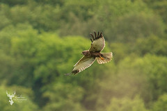Marsh Harrier (DarkleMoner) Tags: bird birdwatch birds wildlife wild wings animal nature photography photo green flight wing marsh harrier predator prey