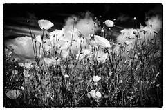 Tournehem-sur-la-Hem. France. Coquelicots.©️Dom Janasz (Dom Janasz) Tags: bw nature blackwhite noiretblanc ilford coquelicots pentaxlife artinbw pentaxart pentaxfilmcaméras
