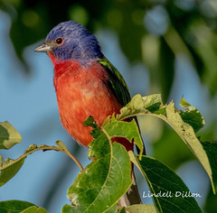 Painted Bunting (Lindell Dillon) Tags: paintedbunring neotropical birds birding nature oklahoma wildoklahoma