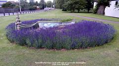 'Spud MacPat Face' boat with sea of Lavender Huntingdon 21st June 2019 001 (D@viD_2.011) Tags: spud macpat face boat with sea lavender huntingdon 21st june 2019