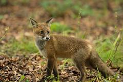 Fox Cub (Jim Crozier) Tags: fox cub canon1dxmarkii canon300mmf2814iii