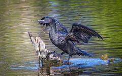 little black cormorant (Fat Burns ☮) Tags: littleblackcormorant phalacrocoraxsulcirostris waterbird bird aistralianbird fauna australianfauna nikond500 nikon200500mmf56eedvr kakadureserve buckleyshole bribieisland queensland australia