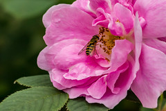 Pretty in Pink (langdon10) Tags: norway bee bug flower flowers insect macro rose