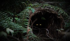 Peeking from the dark (Twila1313) Tags: log woods creature eyes glowingeyes shiny scary creepy ferns spirit stare watching hidden mystery sonya7ii minolta75200f45