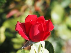 Baden bei Wien Juni 2019 (arjuna_zbycho) Tags: róża rose rosas roses róże rosu rosae flower kwiat blume makrofoto macrophoto rosarium rosengarten الورد biosphaerenparkwienerwald lovers gülsevenler gül trandafir trandafiri زهرة austria badenbeiwien doblhoffpark kurstadt luftkurort stadt city miasto thermenregion biosphaerenpark niederösterreich österreich rakousko wienerwald