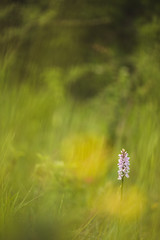 Quelques grammes de beauté ! (bulledenature62) Tags: orchidée dactylorhiza dactylorhizamaculata fleurs portraitdefleur reflex62 deniscoeurphotographe62 photographepasdecalais photographenature fineartphotography fineart artphotographie bokehaddict bokehperfection macrobliss macrolicious hautsdefrance