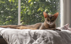 Mother Opie (peter_hasselbom) Tags: cat cats abyssinian blue female mother lying control window pillow naturallight backlight 105mm