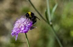 El Abejorro y la flor (tonygimenez) Tags: insectos abejorro flor rosa 50mm sony tubos flores plantas naturaleza macro tubosdeestensión