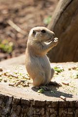 young prairie dog (layzee66) Tags: zoo prairiedog animal prarie dog wildlife photography animlaphotography