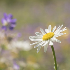 Le temps des marguerites **---+° (Titole) Tags: daisy squareformat titole nicolefaton shallowdof 15challengeswinner thechallengefactory