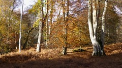 New Forest NP, Hampshire, UK (east med wanderer) Tags: england hampshire newforestnationalpark woodland forest beech oak bracken nationalpark