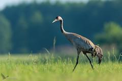 Żuraw, Common Crane (Grus grus) ... 2019r (Rafal Szozda) Tags: birds nature animals wildlife colors crane spring freedom nikon nikkor lens lubuskie poland