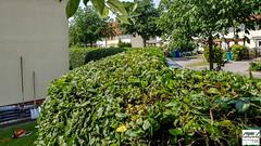 Zustand nach Heckenschnitt (Stefan's Gartenbahn) Tags: garten garden pflanzsack steffis gartenservice musterstück blüte blossom pflanze plant natur nature makro macro zwiebel onion hecke hainbuchenhecke heckenschnitt stihl hsa86 hailo steffisgartenservice