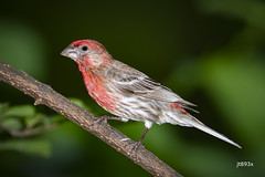 House Finch (jt893x) Tags: 150600mm bird d500 finch haemorhousmexicanus housefinch male nikon nikond500 sigma sigma150600mmf563dgoshsms songbird thesunshinegroup alittlebeauty coth coth5 ngc