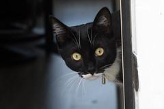 Jack (katjacarmel) Tags: cat chat gato kat kater animal dier closeup portrait black white cats animals pet huisdier portret
