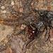 Rove Beetle - Platydracus maculosus, Prince William Forest Park, Triangle, Virginia
