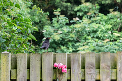 175/365 Supper? (belincs) Tags: bird oneaday lincolnshire 365 june 2019 uk blackbird 365the2019edition 3652019 day175365 24jun19