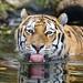 Tiger showing tongue